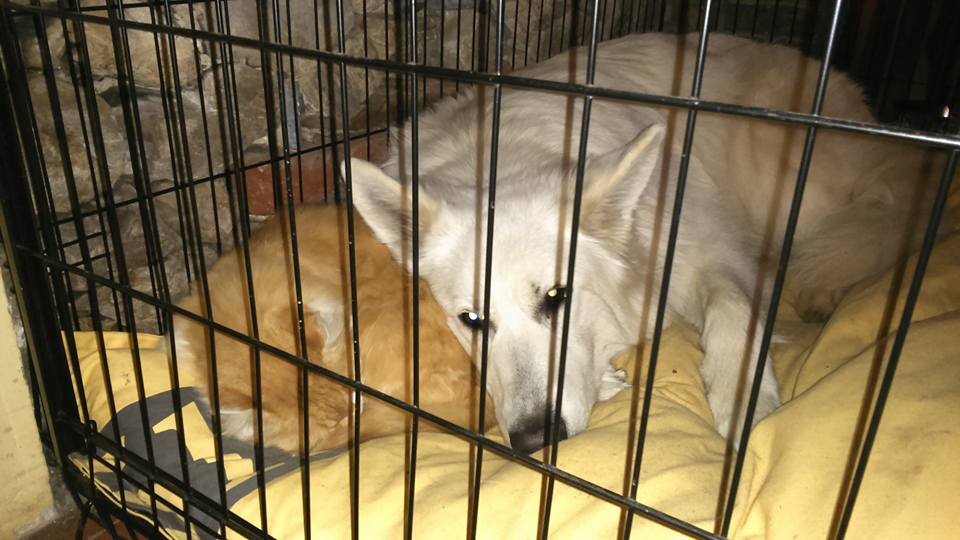 Chien chat cage berger blanc suisse chat