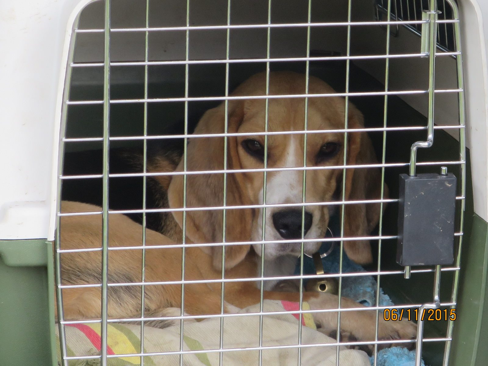 Chien transport cage beagle