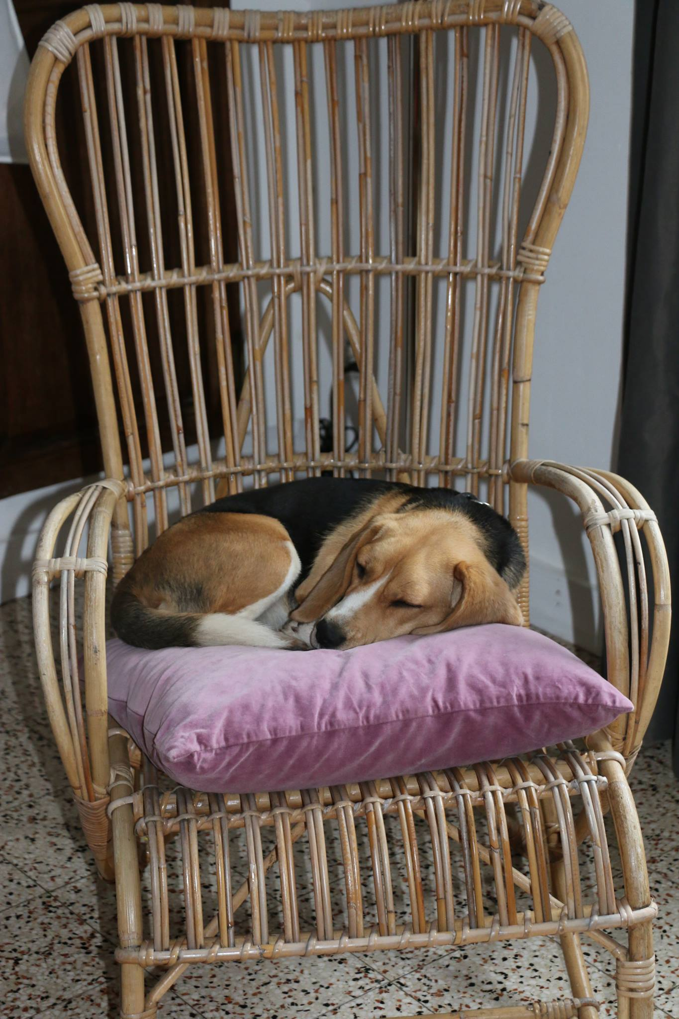 Chien hors cage beagle